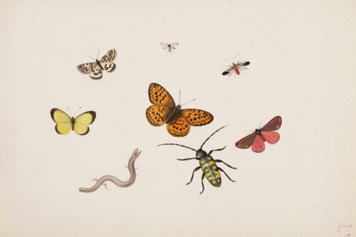 """Studies of Butterflies, Moths, Flies, a Beetle and a Slowworm,"" ca. 1675-1692, black chalk, pen and black ink, watercolor and bodycolor, by Pieter Withoos, Dutch, 1654-1693. Museum Purchase, Lloyd O. and Marjorie Strong Coulter Fund. Bowdoin College Museum of Art."