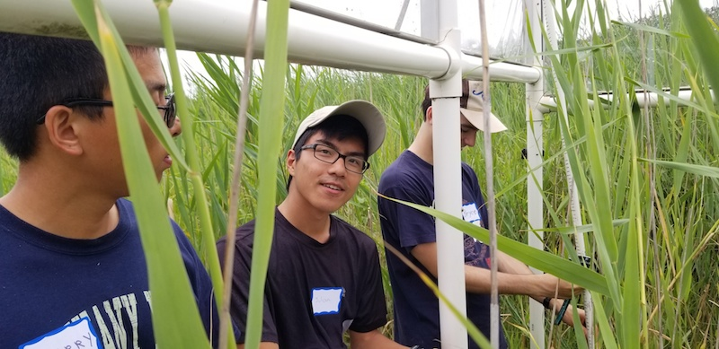 Julian Garrison '19 in a Phragmites field site