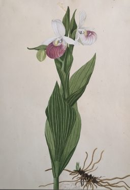 Showy Lady's Slipper, Cypripedium Reginae