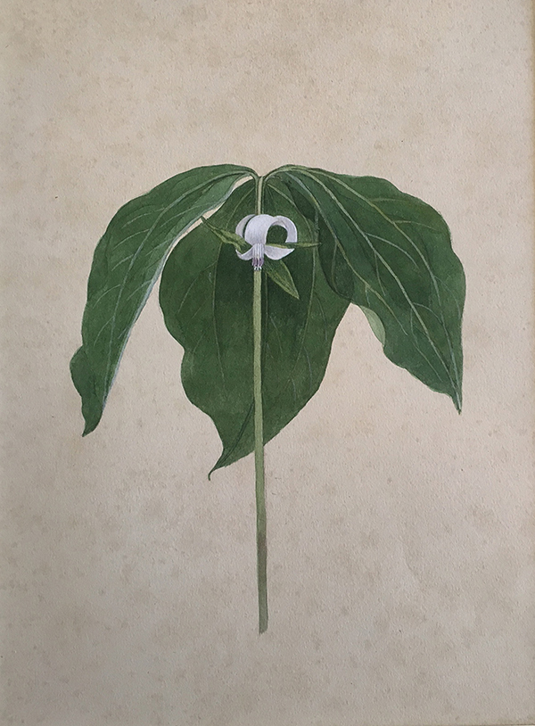 A watercolor of the Trillium Cernuum by artist Kate Furbish