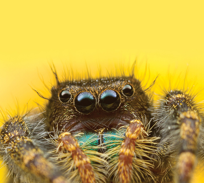 A jumping spider photographed by Alex Wild '95