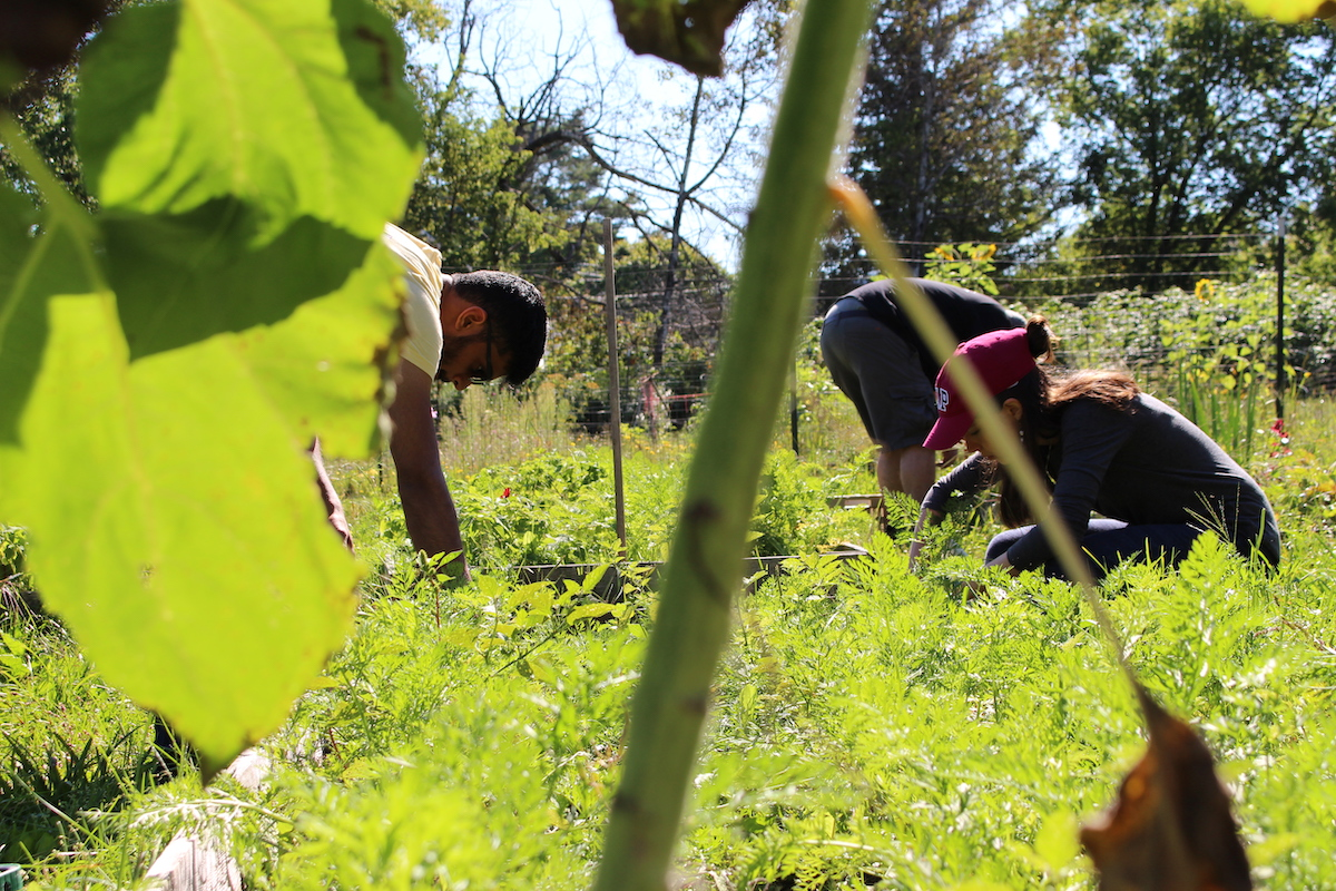 Students harvesting veggies at a community garden