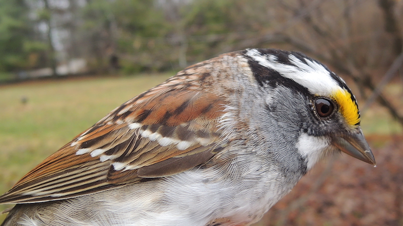 A close-up of a White-throated sparrow