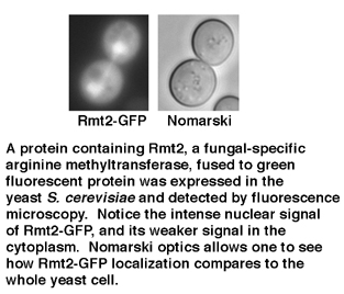 a protein containing rmt2